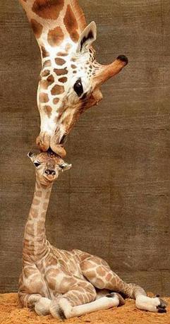 giraffe mum kissing baby giraffe