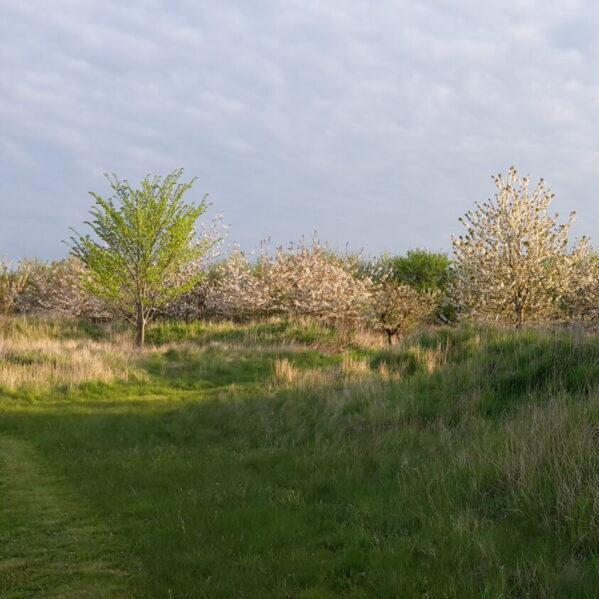 Blomstrende mirabellertræer
